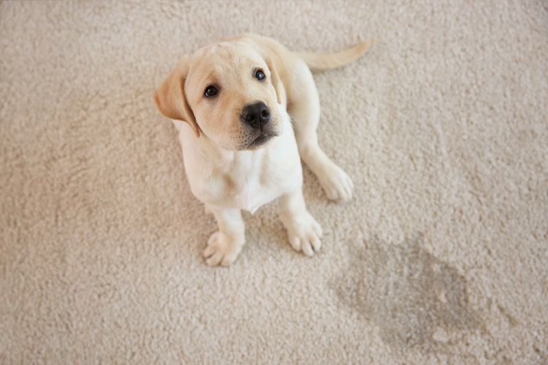 Pet Stain Removal Service